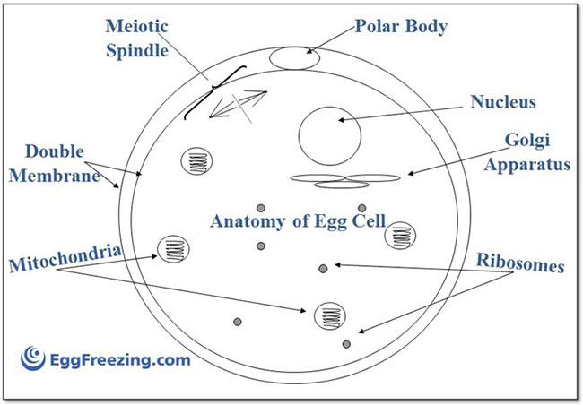 Organelles in sperm cell & yes